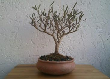L'integrazione olivo-arborea